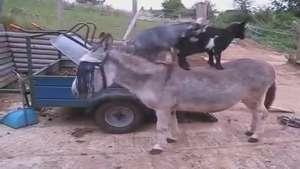 Cabras 'pegam carona' em lombo de burro e viram hit Video: