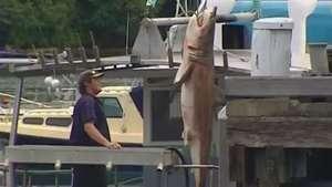 Tubarão de 2,5 m é capturado perto de praia na Austrália Video: