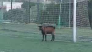 Cabra invade campo durante partida do Campeonato Grego Video: