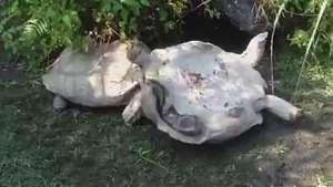 Cumplicidade animal: tartaruga ajuda 'amiga' a se virar Video:
