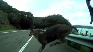 Ciclista se choca contra veado em estrada da Califórnia Video: