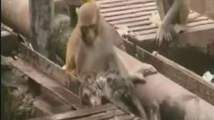 Vídeo mostra macaco tentando ressuscitar animal eletrocutado Video: