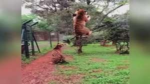 Câmera lenta mostra força de tigre para pegar carne; veja Video: