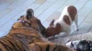 Muito amor! Cão e tigre protagonizam cenas de fofura Video: