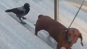 Cheio de marra, corvo bica cachorro e não se intimida Video: