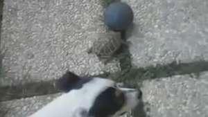Futebol diferente! Veja partida inusitada entre cão e tartaruga Video: