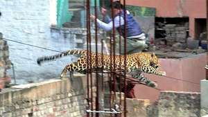 Un leopardo causa el pánico en una ciudad de la India Video: