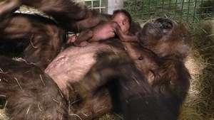 La bebé gorila del zoo de San Diego se reúne con su madre Video:
