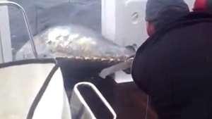 Nueva Zelanda: pescadora logra capturar un atún de... 411 kilos! Video: