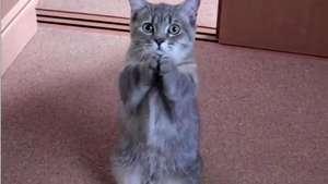 Este gatito tiene una manera muy tierna de pedir comida Mira! Video: