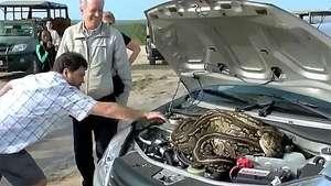 Una serpiente se mete en el motor de un coche en pleno safari Video:
