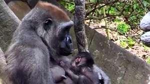 Nacen dos bebés de gorila en el zoo de Nueva York Video: