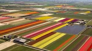 Las plantaciones de tulipanes holandesas vistas desde un dron Video:
