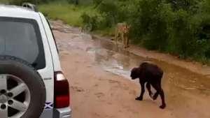 Dramático: así búfalo salva a su cría del ataque de un león hambriento Video: