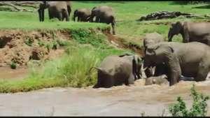 Familia de elefantes sorprende con rescate de cría en río Video: