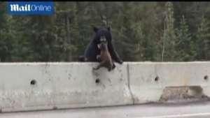 Un oso rescata a su cachorro de una transitada autopista Video: