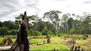 El lucrativo negocio de la tala ilegal de árboles más longevos Video: