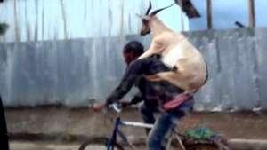 Graban a una cabra montada en un hombre manejando bicicleta Video: