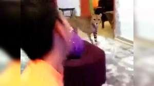 Insólito: tiene como mascota en su casa a un Leopardo Video: