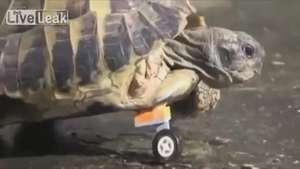 Tortuga vuelve a caminar gracias a una pata de Lego Video: