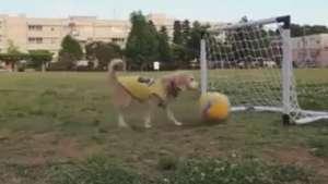 Este perro sorprende por sus habilidades con la pelota Video: