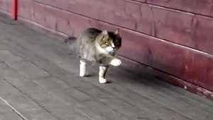 El gato que camina como un caballo se vuelve viral en la web Video: