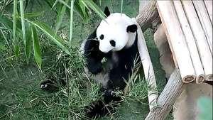 Presentan a pareja de pandas gigantes en Malasia Video: