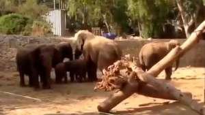 Elefantes protegen a sus crías durante ataque aéreo en Israel Video:
