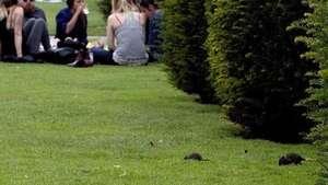 Las ratas invaden los jardines del museo del Louvre en París Video: