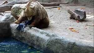 Un oso salva a un cuervo de morir ahogado Video: