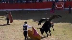 Cóndor monta un toro en tradicional fiesta indígena de Perú Video: