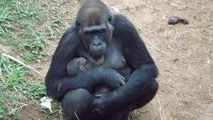 Nace en Brasil la primera cría de gorila de Suramérica Video: