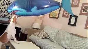 Un perro le gana la batalla a un 'tiburón' Video: