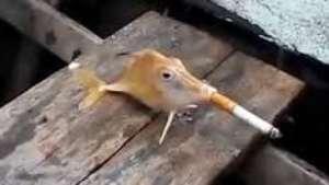 Crueldad: pescadores obligan a un pez a fumar un cigarrillo Video: