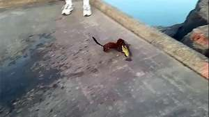 Un visón le roba el pescado a un pescador Video:
