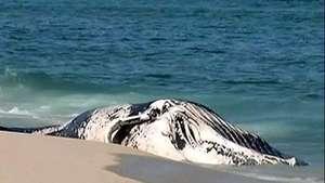 Aparece una ballena muerta en una playa de Río de Janeiro Video: