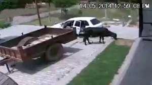 Ladrones roban una vaca y lo meten en la parte trasera del auto Video: