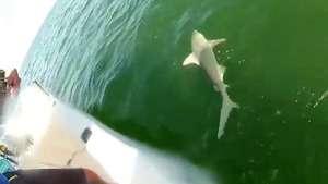 Un tiburón es devorado de un bocado por un mero gigante Video: