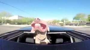 La divertida expresión de un perro que ama la velocidad Video: