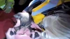 Vale la pena verlo: así reviven a tierno koala atropellado Video: