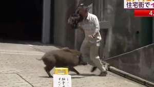 Un jabalí ataca a un camarógrafo durante transmisión en vivo Video: