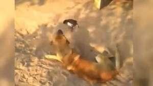 "Pájaro ""chorizo"" se enfrenta sin temor contra un perro Video:"