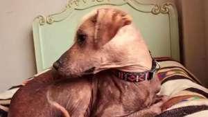Perro peruano sin pelo protagoniza video de rock Video: