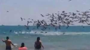 Ataque masivo de pelícanos en playa de Ecuador  Video: