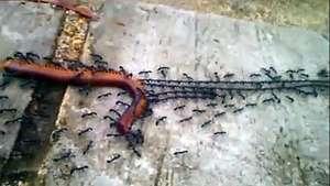 Un ejército de hormigas remolca a un ciempiés al hormiguero Video: