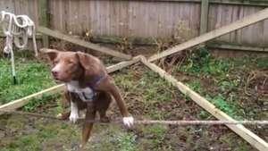 Increíble destreza de un perro sobre la cuerda Video: