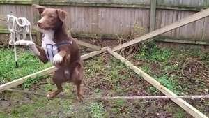 Perro demuestra increíble equilibrio sobre la cuerda floja Video: