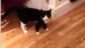Gato sorprende por su particular manera de caminar Video: