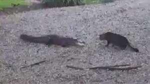 Un cocodrilo sale huyendo al enfrentarse a un gato Video: