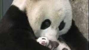 Muy tierno:cuidador de osos panda bebé le da medicamento Video: